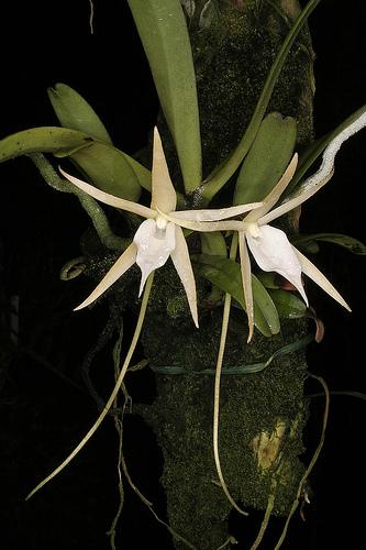 Angraecum elefantinum