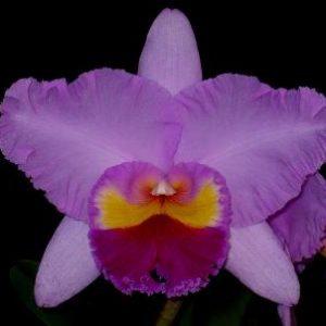 BLC Pamela finney 'Vicotria'