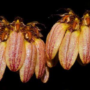 Bulbophyllum sikkimese