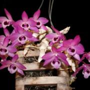 Dendrobium parishii