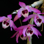 Dendrobium-parishii-2