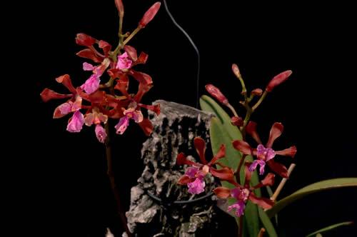 Encyclia hanburyi