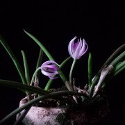 Leptotes pohli-tinocoi