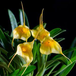 Masdevallia ibrida giallo-bianco
