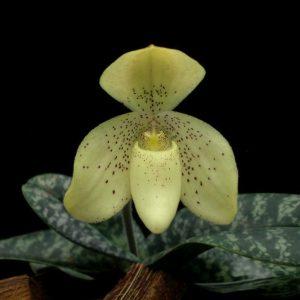 Paphiopedilum concolor 'longipetalum'