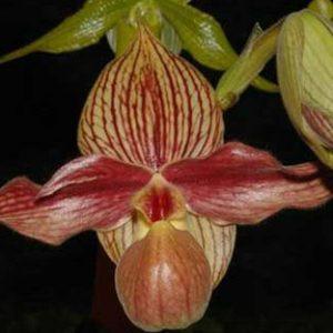Paphiopedilum Rothschildianum x Hangianum