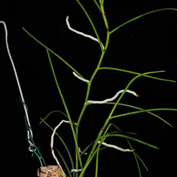 Papillionanthe pedunculata