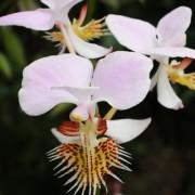 Papilionanthe-pedunculata-2