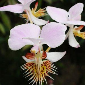 Papillionanthe