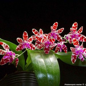 Phalaenopsis mariae