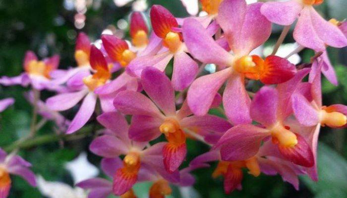 giulio celandroni orchidee acquista
