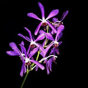 Arachnis hookeriana x Vanda rothschildiana