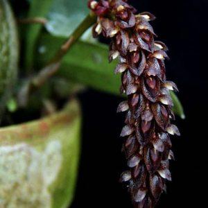 Bulbophyllum propinquum