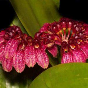 Bulbophyllum pulchellum
