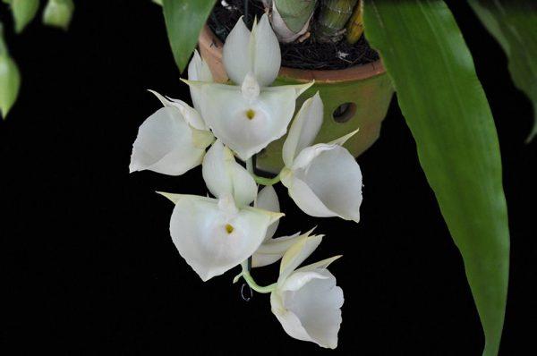 Catasetum pileatum var.alba