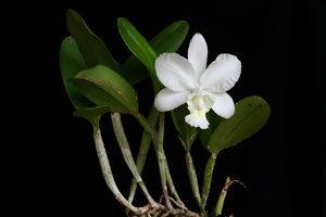 Cattleya dolosa var. alba
