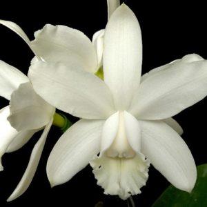 cattleya-intermedia-alba-2
