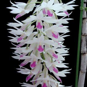 Dendrobium amethystoglossum