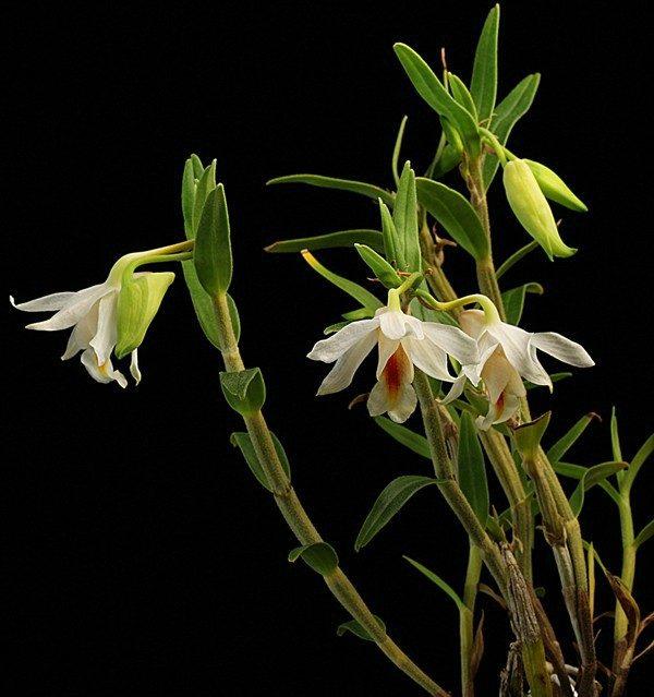 Dendrobium chrystianum