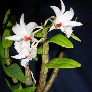 Dendrobium draconis