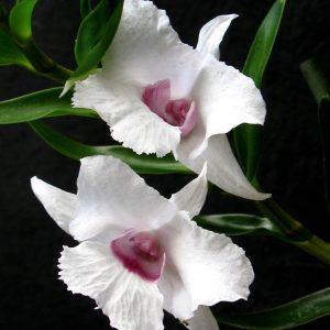Dendrobium parthenium
