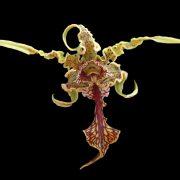 Dendrobium-spectabile-2