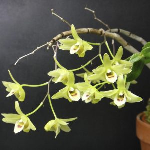 Dendrobium tosanense