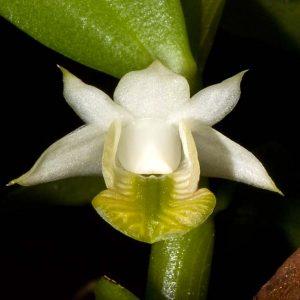Dendrobium trinervium