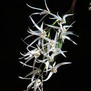 dockrillia-casuarinae