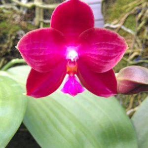 Phalaenopsis (Buena Jewel x Coral Isles) x P. violacea (Dark red)