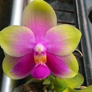 Phalaenopsis (P. Be Tris x P. bellina) x P. Joy Canary 'Orange'
