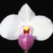 Paphiopedilum-delenatii-2
