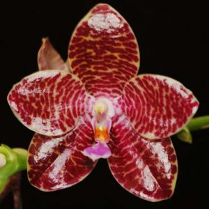 Phalaenopsis Joey