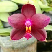 Phalaenopsis Sogo Kaiulani x P. violacea