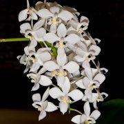 Phalaenopsis equestris var. alba