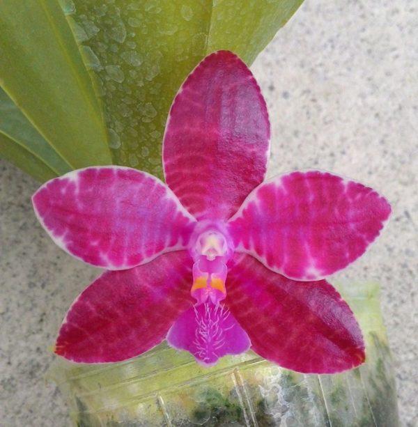 Phalaenopsis lueddemanniana Mindanao Type