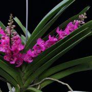 rhynchocentrum-lilac-blossom