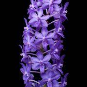 rhynchodenia-magic-wand-blue