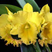rlc-ta-shiang-yellow-dragon-puti-gold
