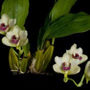 bifrenaria-harrisionae-1