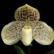 Paphiopedilum wellesleyanum x leucochilum