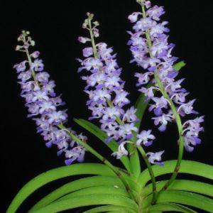 Rhynchostylis coelestis blue