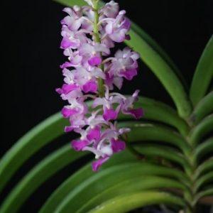 Rhynchostylis coelestis pink