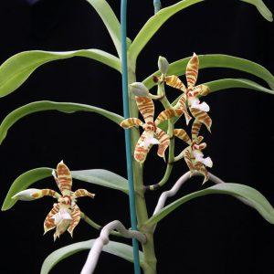 Staurochilus fasciatus