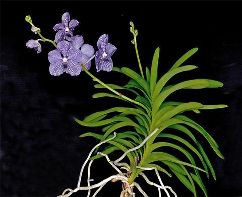 Vanda rothschildiana giulio celandroni orchidee for Orchidea prezzo