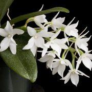 Aerangis articulata x fastuosa