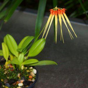 Bulbophyllum hirundinis