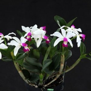 Cattleya violacea semi-alba