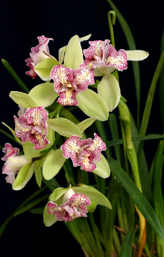 Cymbidium green valley emerald peloric