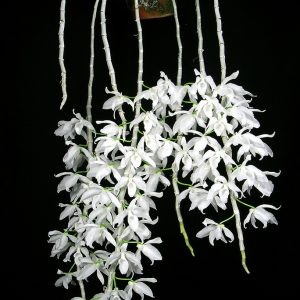 Dendrobium anosmum var alba